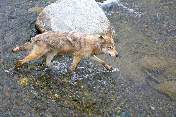 Lone wolf, Katmai National Park